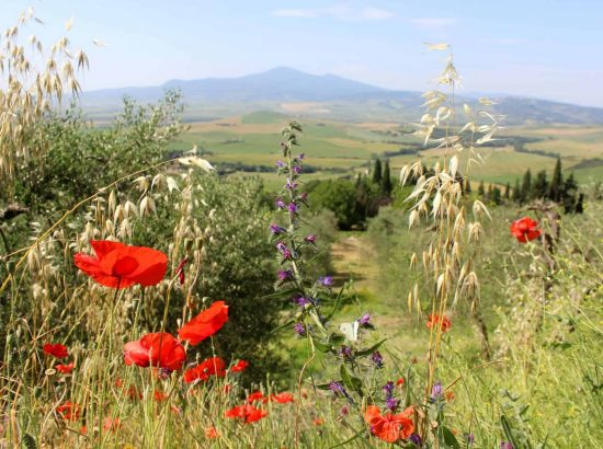 Mount Amiata sits in the background of this UNESCO protected Valley of Orcia (Val d'Orcia) with red poppies and other wildflowers in the foreground.